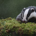 Badger being atacked by the Midges.
