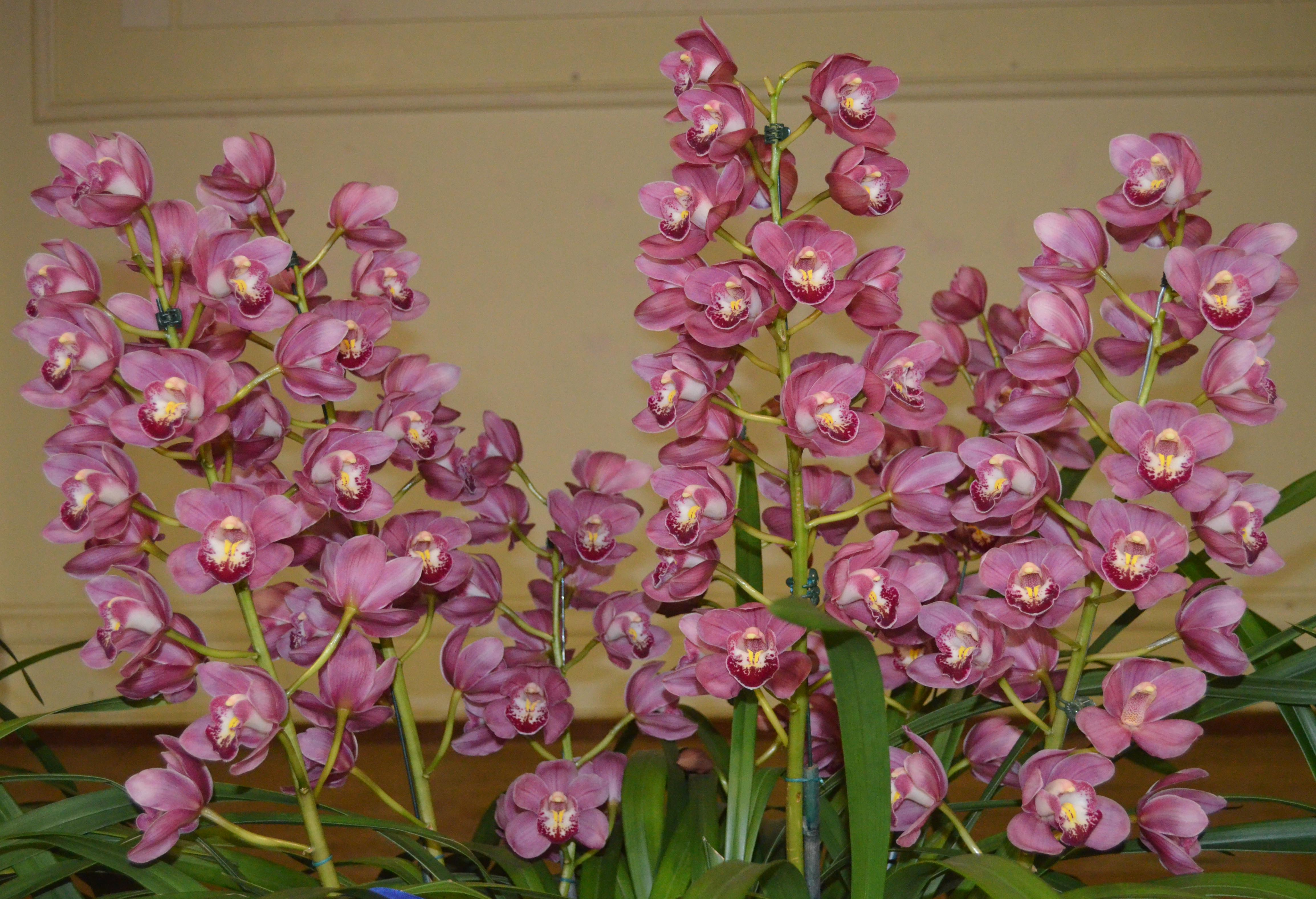 Cymbidium Pink Celebration 'Little   <BR>Richard'