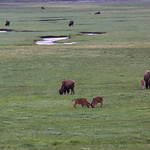 Head butting calves