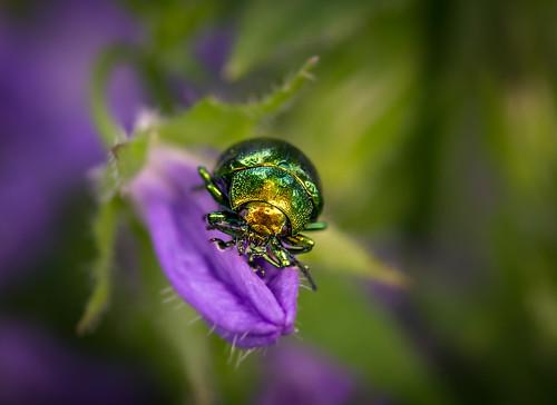 Glimmer Bug