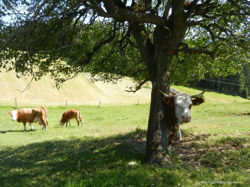 Альпы. Словения. Коровы