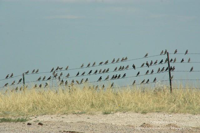 2014.07.27Cowbirds