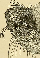 "Image from page 373 of ""Cyclopædia of obstetrics and gynecology"" (1887)"