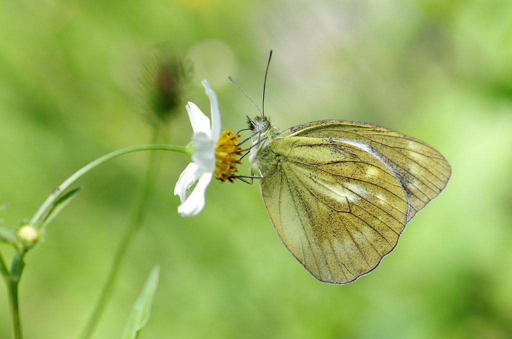 感受地表高溫的趴蝶趣