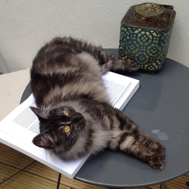 Kurilian Bobtail Cat Pictures and Information - Cat-Breeds.com