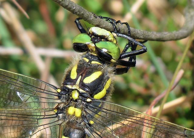 Golden-ringed Dragonfly - Cordulegaster boltonii