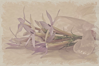 Mauve Star Laurentia Flower Still Life