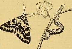 Butterfly & Catapiller Image