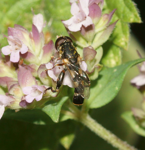 Thick-legged hoverfly (Syritta pipiens)