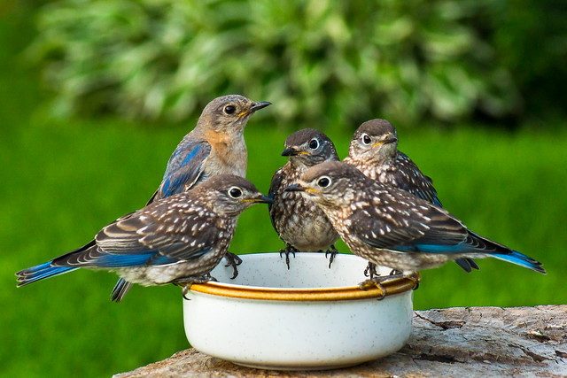 Eastern, Bluebirds, Eastern Bluebird, Eastern Bluebirds, Five, Birds, Juvenile