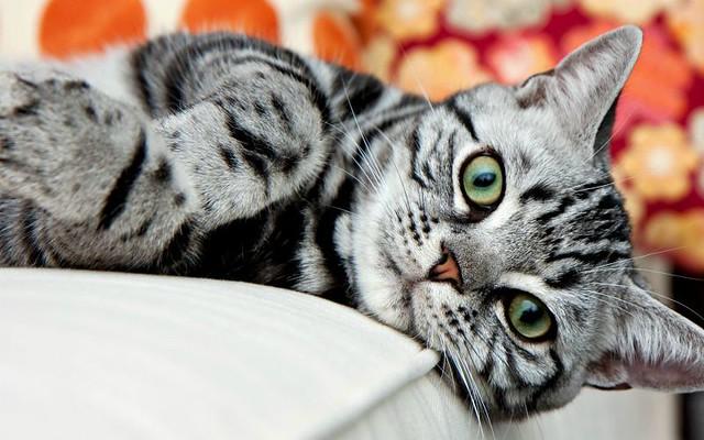 1_American-Shorthair-Silver-Cat.jpg