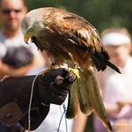 Black Mountains Falconry display 9th Aug 2014 (11)