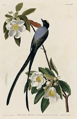 Fork-tailed Flycatcher in Loblolly Bay. Gordonia lasianthus (1833)