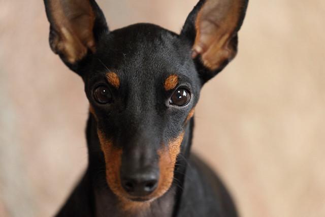 mira oscura del perro Toy Terrier