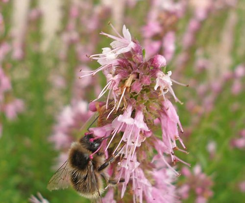 Hyssop and bumblebee