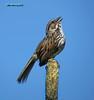 Song Sparrow 7225
