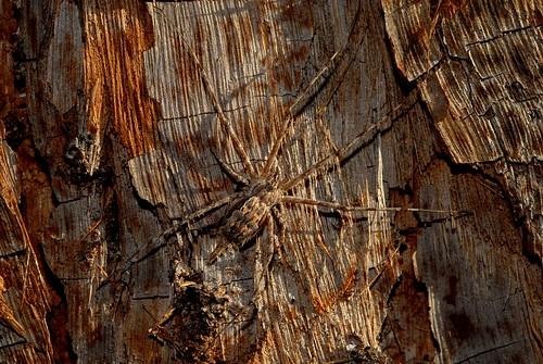 spider hersiliidae tamopsisfickertii fickertstwotailedspider barkspider camouflage crypsis tallowwood eucalyptusmicrocorys bark afternoon goonellabah lismore northernrivers nsw nature australia australianwildlife arachnid spiders arthropoda arachnida araneae araneomorphae spinne