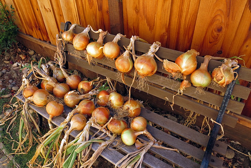 Onions Curing 1