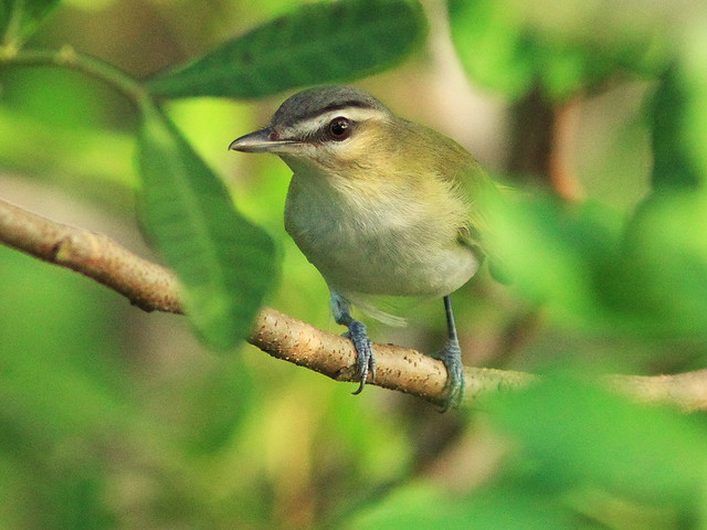 Red-eyed Vireo 2-20140827