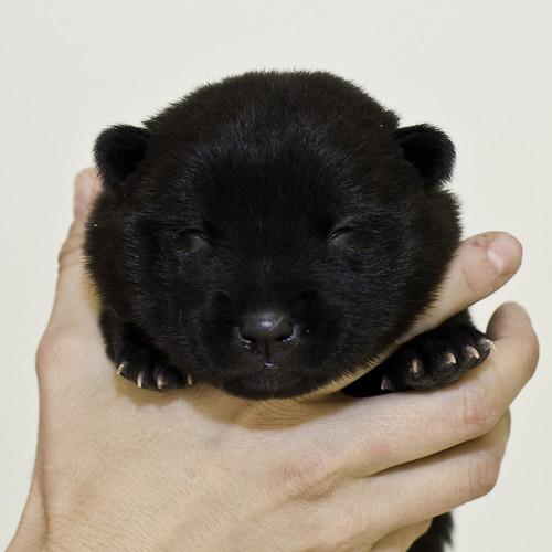 Nori-Litter2-10Days-Puppy3(female)a
