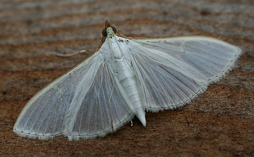 Palpita vitrealis Tophill Low NR, East Yorkshire September 2014