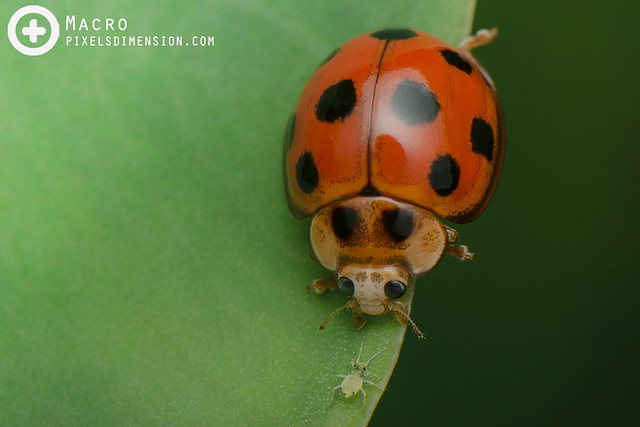 Ladybird vs. Aphid