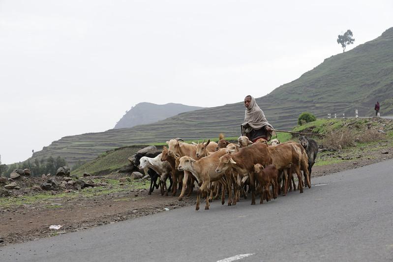 Herding in Tigray