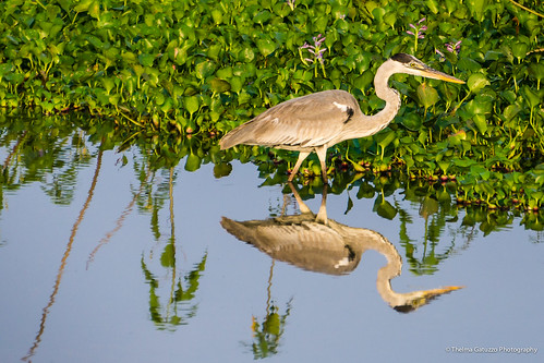 brazil reflection bird heron nature fauna sunrise flora natureza ngc matogrosso pantanal garça poconé transpantaneira cocoiheron garçamoura thelmagatuzzo© thelmagatuzzophotography©