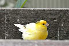 atlantic canary, animal, canary, yellow, fauna, beak, bird, wildlife,