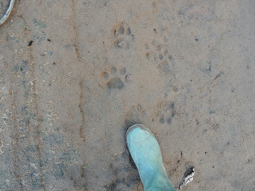 Jaguar footprints - Madidi National Park - Amazon forest - Bolivia