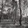 Stanton Moor Birches B&W