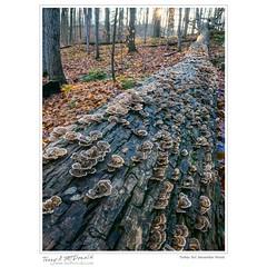 Turkey Tail, November Wood