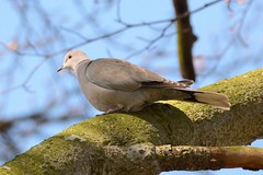 stonefactionbirding2014.blogspot.co.uk/2014/04/easter-exc...  Collared Dove near Morton Lochs in Fife....