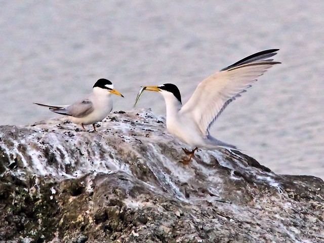 Least Tern female refuses fish from intruder male 24- 20140428
