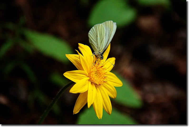 Heart leaved Arnica 1
