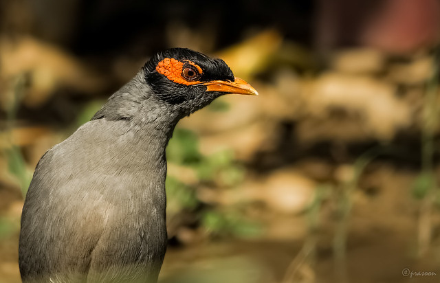 Angry look of a Bank Myna ( India)