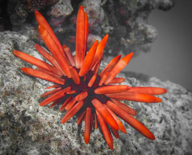 Red Pencil Urchin (Heterocentrotus mammillatus) b&w&r