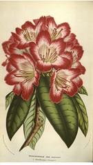 Tree Rhododendron. Rhododendron arboreum. Flore des serres et des jardins de l'Europe v.9 (1853-1854)