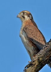 Brown Falcon at a stand