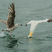 Northen Gannet Dives for Fish