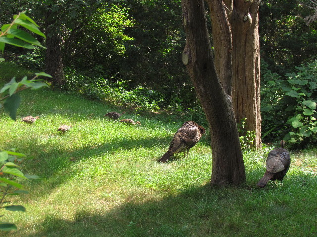 Turkey hens and poults1 7:26:14