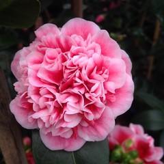 #camellia #petals how gorgeous