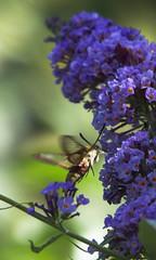De zeldzame glasvleugelpijlstaart op de vlinderstruik in de tuin