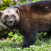Small photo of Attentive wolverine