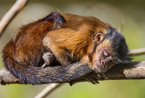 Sleeping capuchin monkey