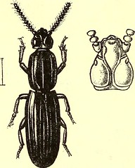 """Image from page 535 of """"Coleoptera : general introduction and Cicindelidae and Paussidae"""" (1912)"""