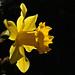Daffodil Day_2560