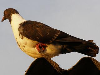 Pigeon on One Leg