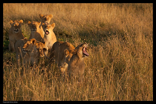 africa sunrise kenya wildlife lion lions bigcats lionyawn canon5dmkii aniajones copyright2014aniajones copyright2013aniajones copyright2012aniajones lionsatsunrise aniadembny aniadembnylrps
