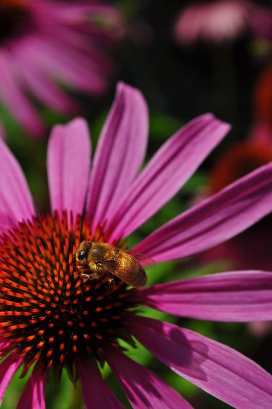 Echinacea 'Magnus' (4)
